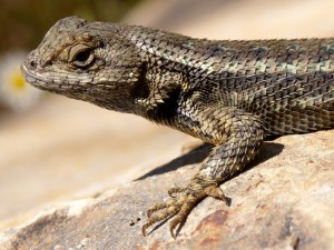 Pictures of Western Fence Lizard