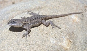 Western Fence Lizard Images