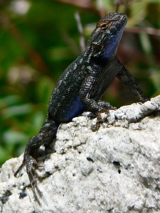 Western Fence Lizard Pictures