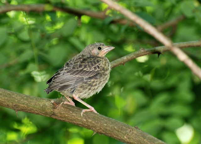 cowbird and other birds symbiotic relationship
