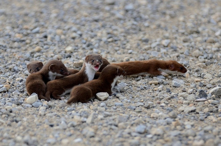 Least Weasel on Estrous Cycle