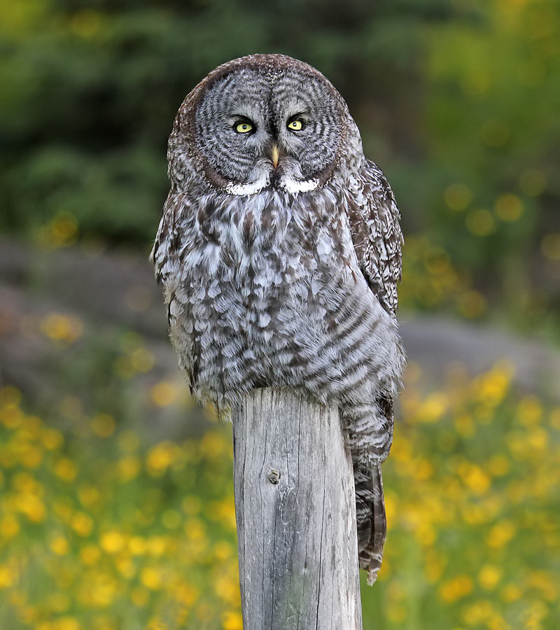 Great Grey Owl | Coniferous Forest