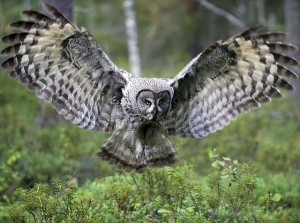 Great Grey Owl Pictures