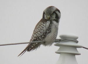 Nothern Hawk Owl Pictures