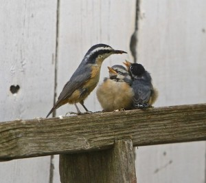 Red Breasted Nuthatch Babies