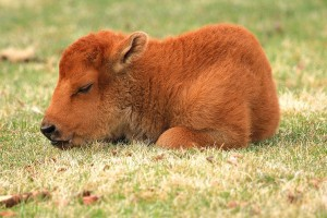 Baby American Bison