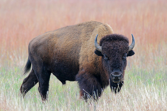 A Bison Eats American Bison ...