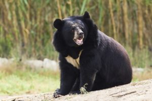 Asian Black Bear Pictures
