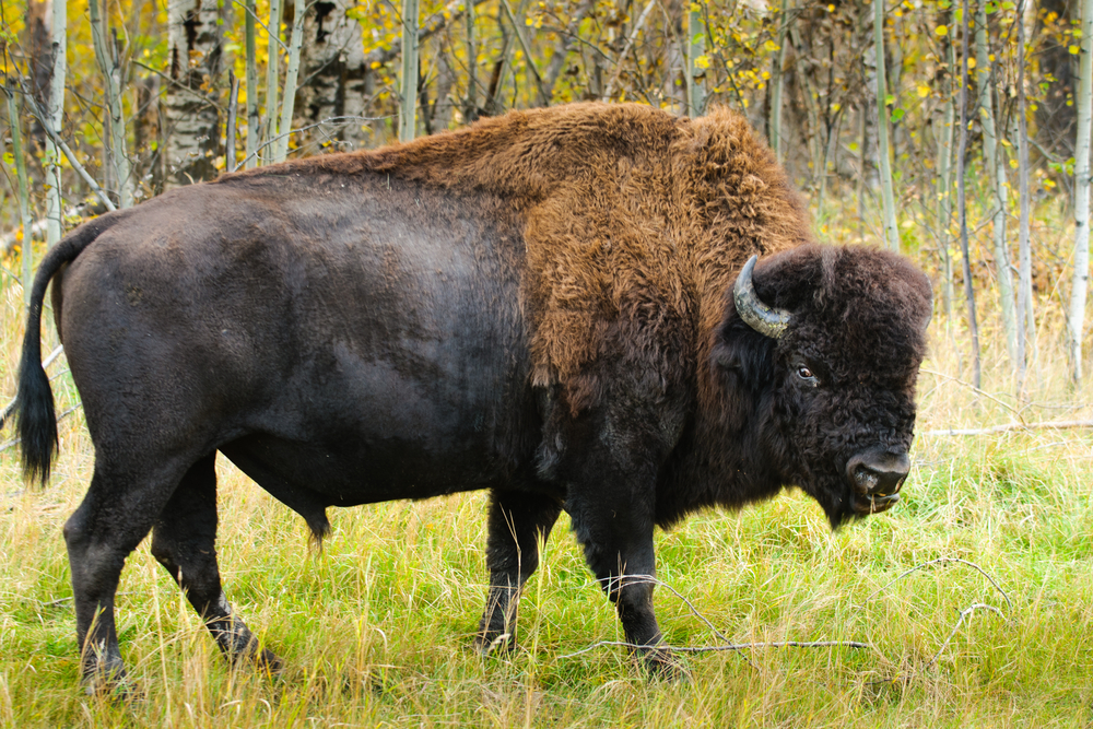 American Bison Size Diagram - Example Electrical Circuit •