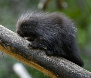 Baby North American Porcupine