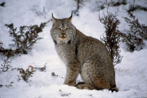 Canada Lynx Images
