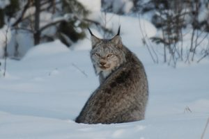 Canadian Lynx Pictures