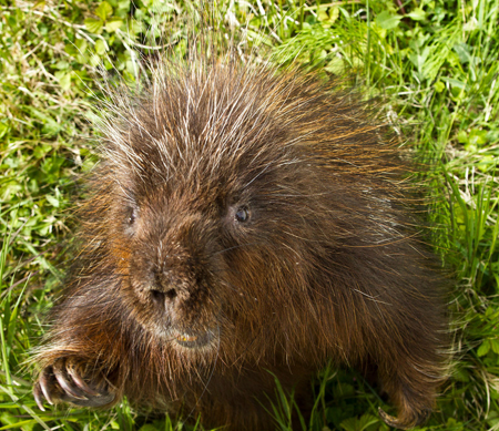 North American Porcupine | Coniferous Forest  North American ...
