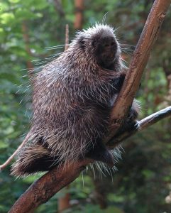 North American Porcupine Images