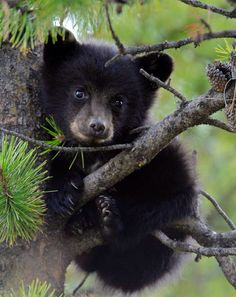 American Black Bear | Coniferous Forest - photo#5