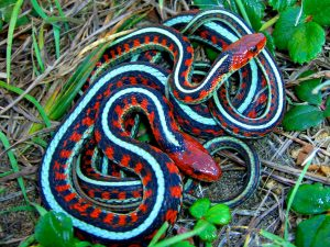 California Red Sided Garter Snake Pictures