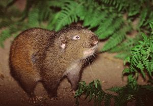Mountain Beaver Images