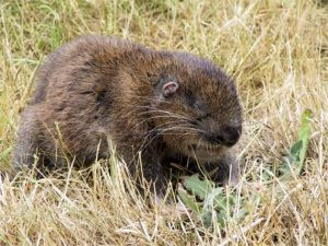 Mountain Beaver Pictures