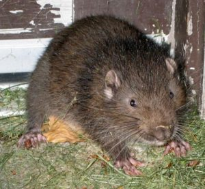 Mountain Boomer Rodent