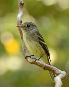 Yellow bellied Flycatcher Pictures
