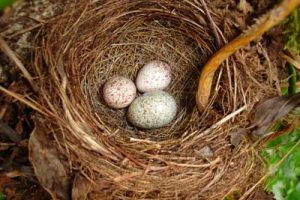 Olive Sided Flycatcher Eggs