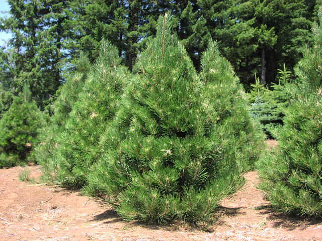 Austrian Pine (Black Pine Tree) Diseases, Growth Rate, Facts ...