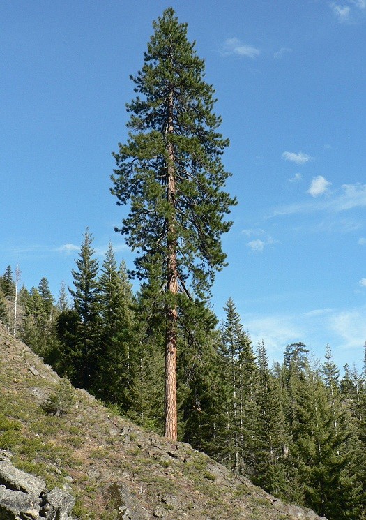 Ponderosa Pine Tree Identification, Facts, and Pictures