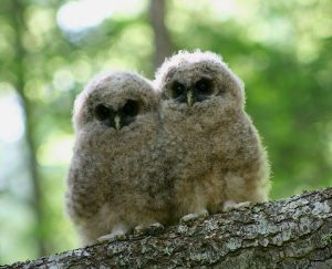 the northern spotted owl controversy This study just undermined a huge myth about the endangered species act a northern spotted owl in of these was the huge controversy surrounding.