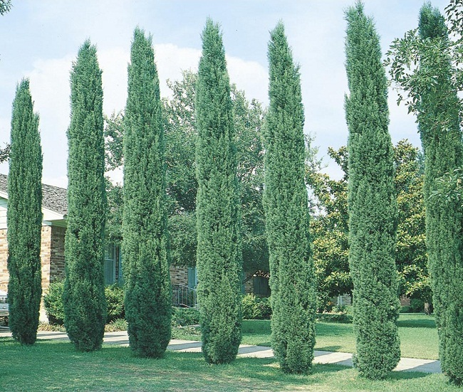 12 Species of Juniper Trees and Shrubs  The Spruce