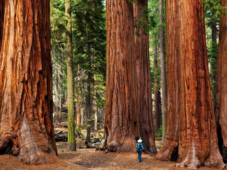 Giant Sequoia Tree Facts, Distribution, Growth Rate, Pictures ...