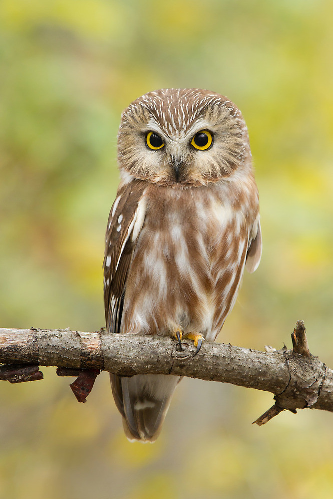 Northern Whet-Saw Owl ...
