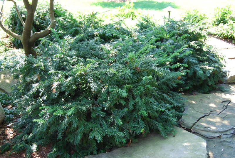 English Yew Tree Facts Identification Habitat Wood Pictures