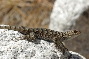 Western Fence Lizard Photos