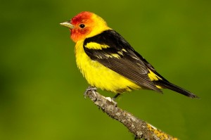 Western Tanager Images