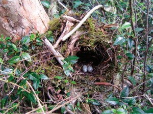 Western Tanager Nest