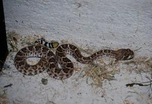 Baby Western Diamondback Rattlesnake