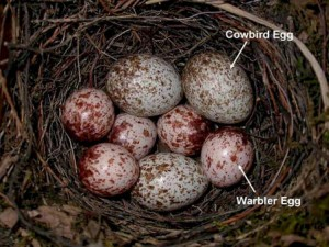 Brown Headed Cowbird Eggs