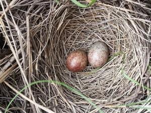 Brown Headed Cowbird Nest