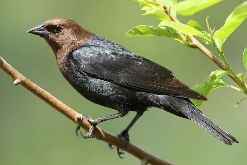 brown headed cowbird and songbird relationship