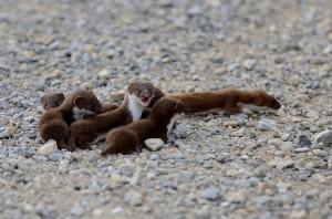 Least Weasel Babies