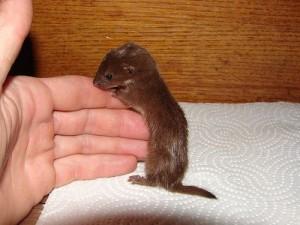 Least Weasel Baby
