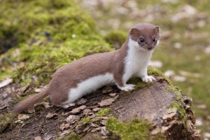 Least Weasel Images