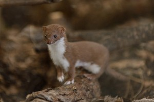 Least Weasel Photos