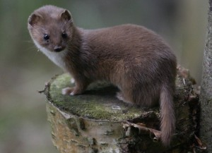 Least Weasel Pictures