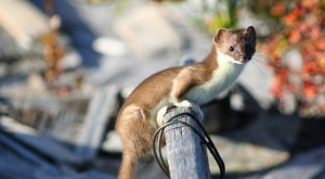 Least Weasel Size