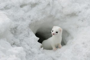 Least Weasel White
