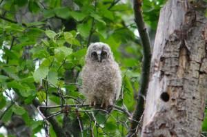 Long Eared Owl Baby