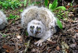 Long Eared Owl Chicks