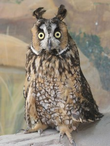Long Eared Owl Images