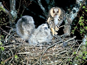 Long Eared Owl Nest